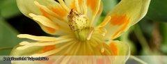 Tulpe_04.jpg